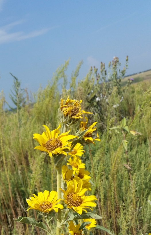 nebraska-sunflowers.jpg