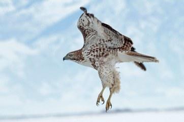 Red-tail Hawk snow